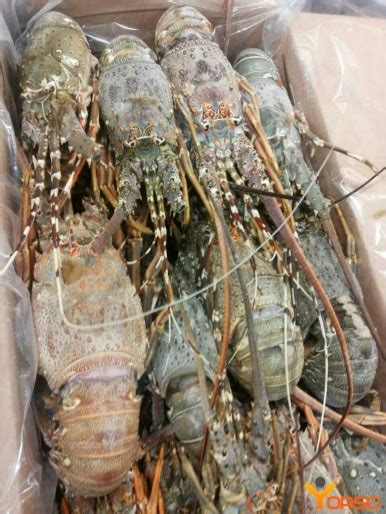 Spiny lobster, frozen, wr, 500-700, 700-900, 900+