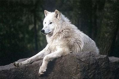 Quiz - What is my Wolf Rank? - YouThink
